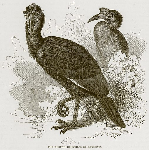 The Ground Gornbills of Abyssinia. Illustration from Cassell's Natural History (Cassell, 1883).