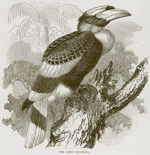 The Great Hornbill. Illustration from Cassell's Natural History (Cassell, 1883).