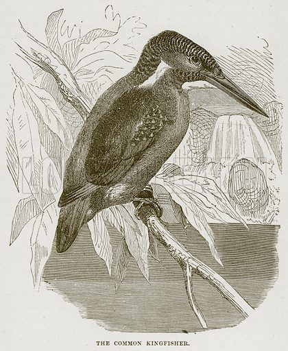 The Comon Kingfisher. Illustration from Cassell's Natural History (Cassell, 1883).
