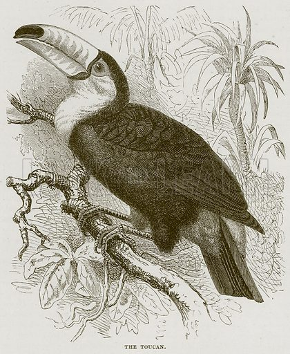 The Toucan. Illustration from Cassell's Natural History (Cassell, 1883).