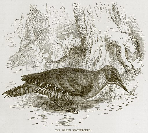 The Green Woodpecker. Illustration from Cassell's Natural History (Cassell, 1883).
