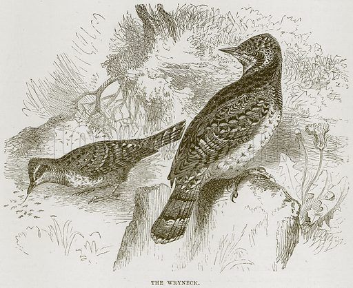 The Wryneck. Illustration from Cassell's Natural History (Cassell, 1883).
