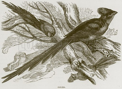 Colies. Illustration from Cassell's Natural History (Cassell, 1883).