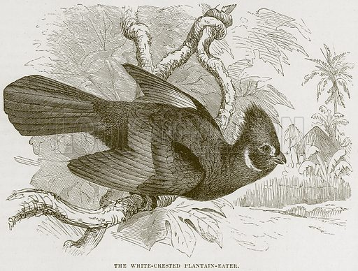 The White-Crested Plantain-Eater. Illustration from Cassell's Natural History (Cassell, 1883).