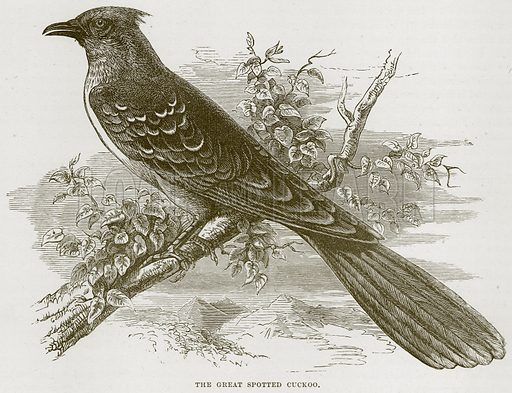 The Great Spotted Cuckoo. Illustration from Cassell's Natural History (Cassell, 1883).