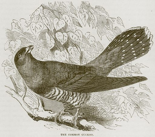The Common Cuckoo. Illustration from Cassell's Natural History (Cassell, 1883).