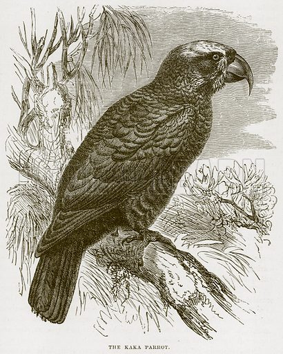 The Kaka Parrot. Illustration from Cassell's Natural History (Cassell, 1883).