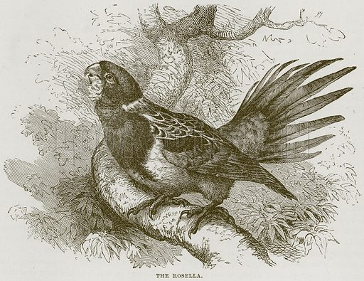 The Rosella. Illustration from Cassell's Natural History (Cassell, 1883).