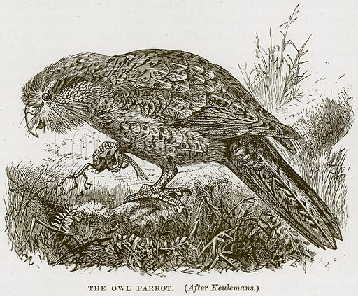 The Owl Parrot. Illustration from Cassell's Natural History (Cassell, 1883).