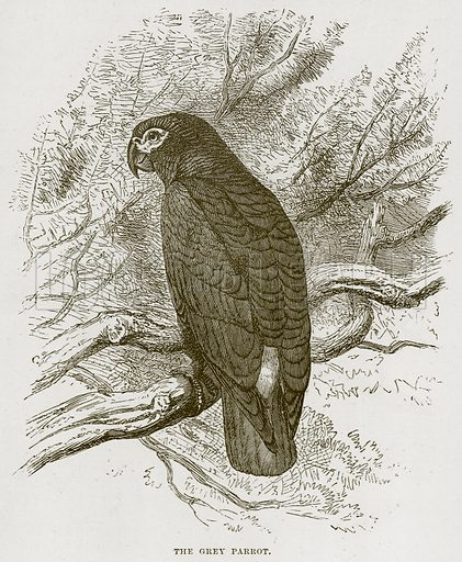 The Grey Parrot. Illustration from Cassell's Natural History (Cassell, 1883).