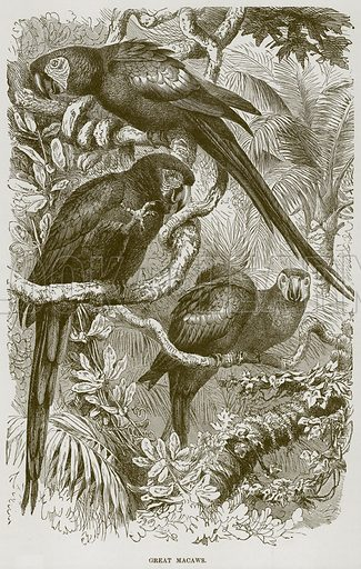 Great Macaws. Illustration from Cassell's Natural History (Cassell, 1883).
