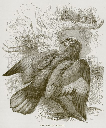 The Amazon Parrot. Illustration from Cassell
