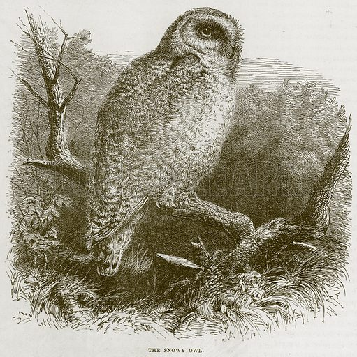 The Snowy Owl. Illustration from Cassell's Natural History (Cassell, 1883).