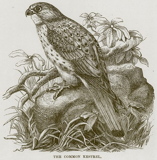 The Common Kestrel. Illustration from Cassell's Natural History (Cassell, 1883).