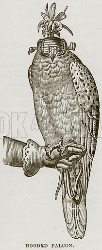 Hooded Falcon. Illustration from Cassell's Natural History (Cassell, 1883).