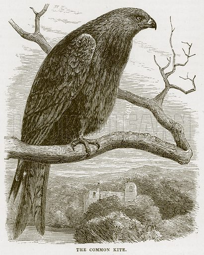 The Common Kite. Illustration from Cassell's Natural History (Cassell, 1883).