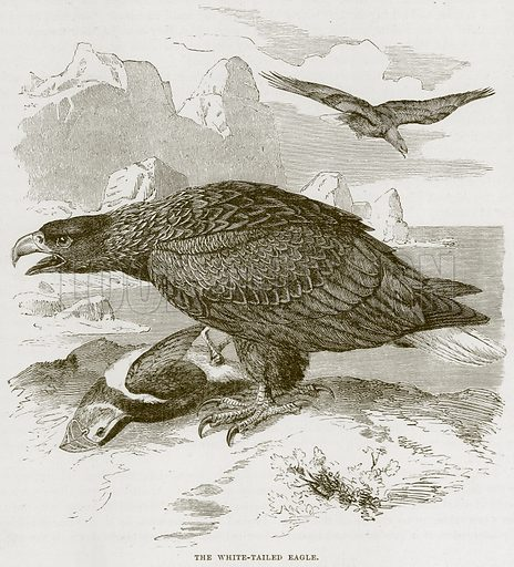 The White-Tailed Eagle. Illustration from Cassell's Natural History (Cassell, 1883).