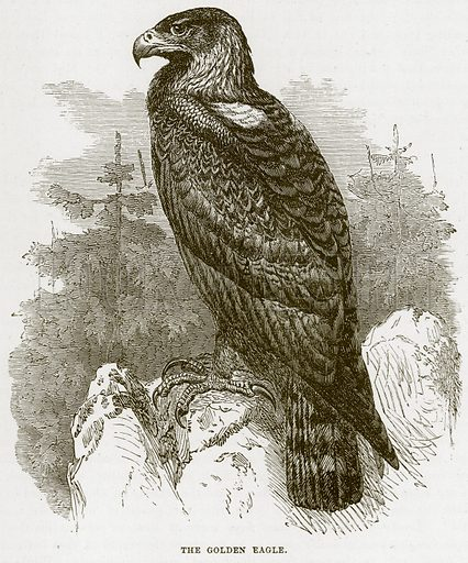 The Golden Eagle. Illustration from Cassell's Natural History (Cassell, 1883).