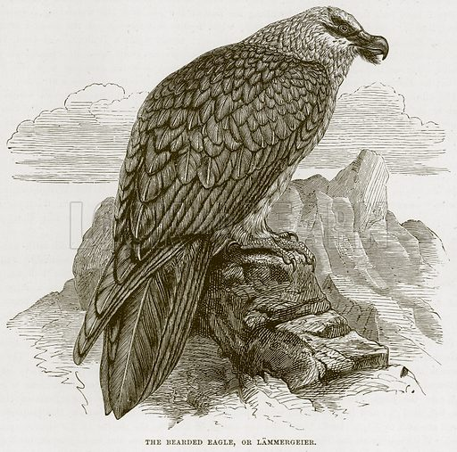The Bearded Eagle, or Lammergeier. Illustration from Cassell's Natural History (Cassell, 1883).