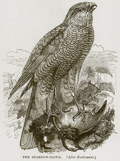 The Sparrow-Hawk. Illustration from Cassell's Natural History (Cassell, 1883).