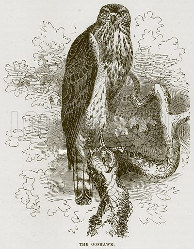 The Goshawk. Illustration from Cassell's Natural History (Cassell, 1883).
