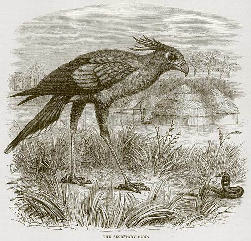 The Secretary Bird. Illustration from Cassell's Natural History (Cassell, 1883).