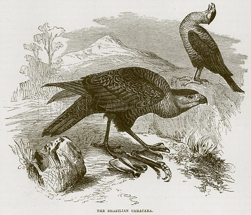 The Brazilian Caracara. Illustration from Cassell's Natural History (Cassell, 1883).