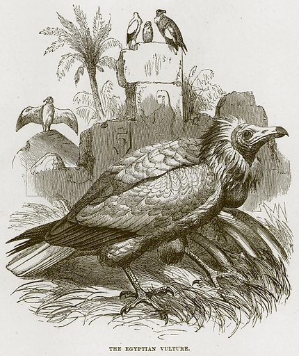 The Egyptian Vulture. Illustration from Cassell's Natural History (Cassell, 1883).