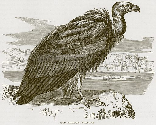 The Griffon Vulture. Illustration from Cassell's Natural History (Cassell, 1883).