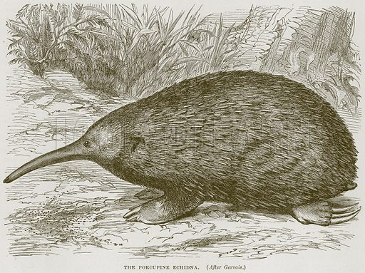 The Porcupine Echidna. Illustration from Cassell's Natural History (Cassell, 1883).