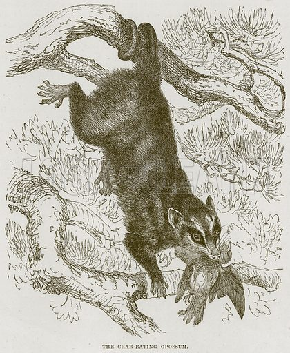 The Crab-Eating Opossum. Illustration from Cassell's Natural History (Cassell, 1883).