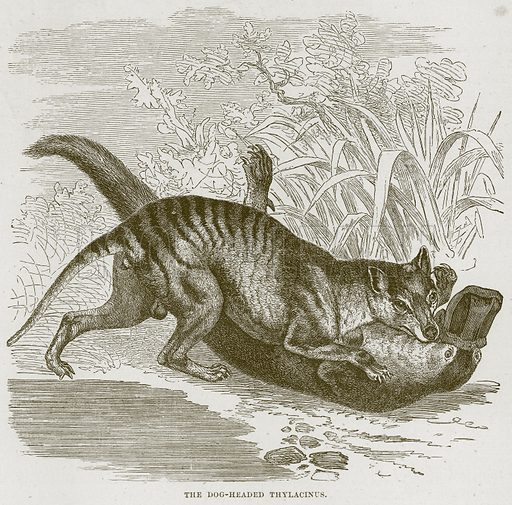 The Dog-Headed Thylacinus. Illustration from Cassell's Natural History (Cassell, 1883).