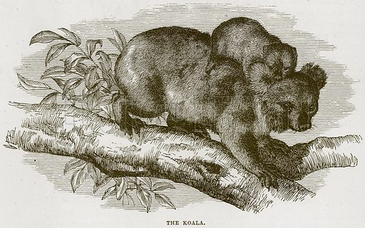The Koala. Illustration from Cassell's Natural History (Cassell, 1883).