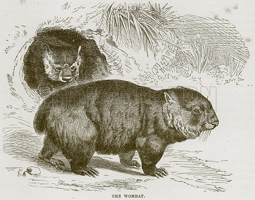 The Wombat. Illustration from Cassell's Natural History (Cassell, 1883).