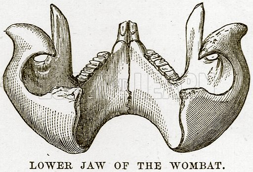 Lower Jaw of the Wombat. Illustration from Cassell's Natural History (Cassell, 1883).