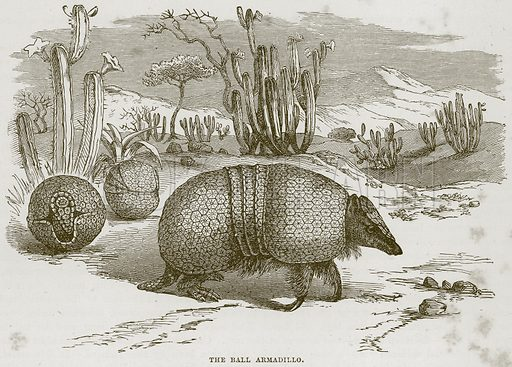 The Ball Armadillo. Illustration from Cassell's Natural History (Cassell, 1883).