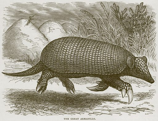 The Great Armadillo. Illustration from Cassell's Natural History (Cassell, 1883).