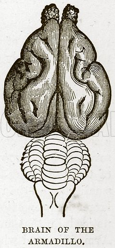 Brain of the Armadillo. Illustration from Cassell's Natural History (Cassell, 1883).
