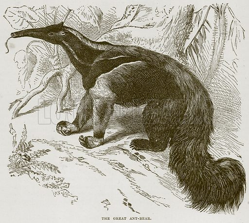 The Great Ant-Bear. Illustration from Cassell's Natural History (Cassell, 1883).