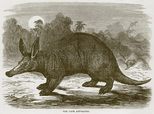 The Cape Ant-Eater. Illustration from Cassell's Natural History (Cassell, 1883).