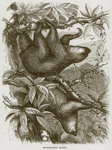 Hoffmann's Sloth. Illustration from Cassell's Natural History (Cassell, 1883).
