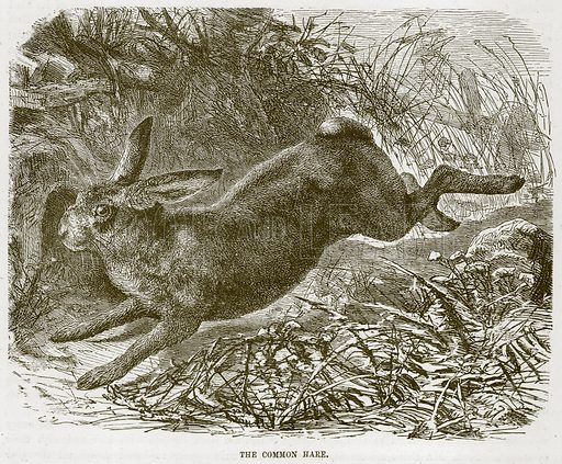 The Common Hare. Illustration from Cassell's Natural History (Cassell, 1883).