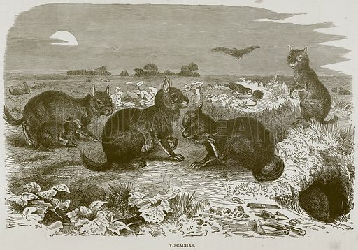 Viscachas. Illustration from Cassell's Natural History (Cassell, 1883).