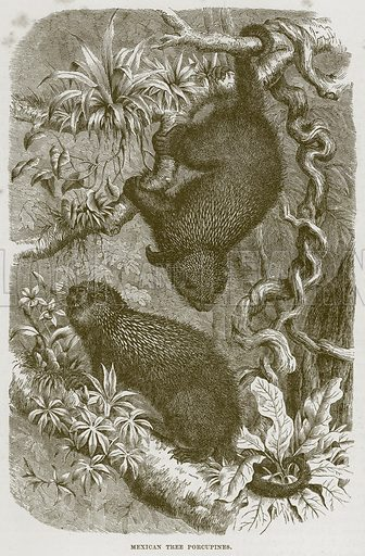 Mexican Tree Porcupines. Illustration from Cassell's Natural History (Cassell, 1883).
