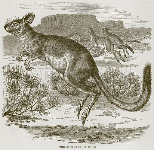 The Cape Jumping Hare. Illustration from Cassell's Natural History (Cassell, 1883).