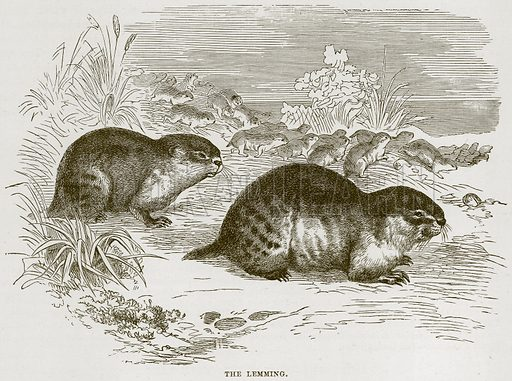 The Lemming. Illustration from Cassell's Natural History (Cassell, 1883).