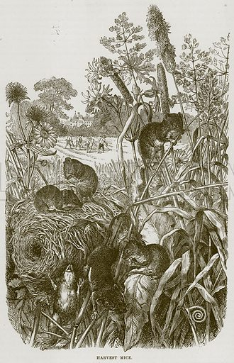 Harvest Mice. Illustration from Cassell's Natural History (Cassell, 1883).