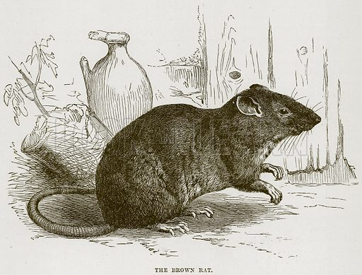 The Brown Rat. Illustration from Cassell's Natural History (Cassell, 1883).