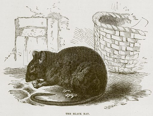 The Black Rat. Illustration from Cassell's Natural History (Cassell, 1883).