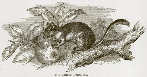 The Garden Dormouse. Illustration from Cassell's Natural History (Cassell, 1883).